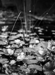 Anglų lietuvių žodynas. Žodis lily-pad reiškia lily pad lietuviškai.