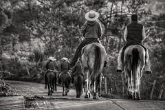 Cavalgada no Curso da Fé (Marcos Simanovic) Tags: cavalos horses horse riders gallop simanovic