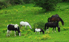 Contented Horses (jdathebowler Thanks for 1.20 Million + views.) Tags: contentedhorses horsesinafield shetlandpony countryside farmland ruralsetting autofocus wow