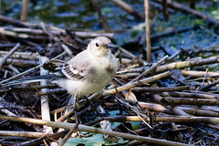 Bird (jpteitti) Tags: bird uutela outdoor wildlife helsinki nature helsingfors uusimaa finland fi