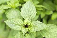 2017-06-27-_MG_7049r (CarolesPhotoArt) Tags: basil herb greens