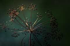 Dill seeds (IngeHG) Tags: thenetherlands home windowsill dillflowers seeds sunset chiaroscuro