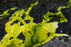 British Algae (pni) Tags: detail algae stone rock water uk17 newlyn penzance cornwall uk england unitedkingdom pekkanikrus skrubu pni
