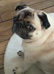 (garance_cassandre) Tags: carlin chien pug