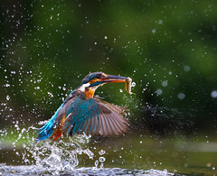 Kingfisher (Nigey2) Tags: