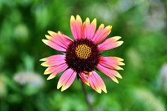 Last but not least (Pensive glance) Tags: gaillardia flower fleur plant plante