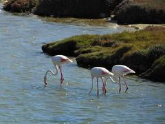 Flamingos (rjmiller1807) Tags: flamingos birds pink flamingo capetown milnerton southafrica aves avian sony sonydsch300 2017 woodbridge bird