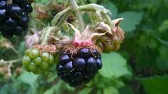 A prizeworthy blackberry wears a 'crown' (Jo. Jo.) Tags: bramble fruit summer black green blackberry crown east anglia england