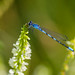 Damselfly (ingridvg) Tags: damselfly blue insect flower