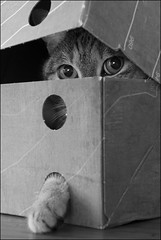 Recyclage de boîte à chaussures (Christine MD) Tags: chat cat boîte chaussures recyclage shoe box
