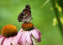 Painted Lady on a Coneflower! (ineedathis, Everyday I get up, it's a great day!) Tags: butterfly insect americanpainedlady americanlady venessavirginiensis lepidoptera coneflower echinacea garden nature summer closeup colors nikond750 pink green bokeh flower zoomshot