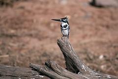 Kingfisher (knipslog.de) Tags: kingfisher smallkids chobe choberiver botswana botsuana safari adventure wildlife wild animals selfdrivesafari