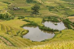 _Y2U0323.0915.Lìm Mông.Cao Phạ.Mù Cang Chải.Yên Bái (hoanglongphoto) Tags: asia asian vietnam northvietnam northwestvietnam landscape scenery vietnamlandscape vietnamscenery vietnamscene terraces terracedfields harvest hillside canon canoneos1dx canonef70200mmf28lisiiusmlens tâybắc yênbái mùcangchải caophạ lìmmông phongcảnh ruộngbậcthang ruộngbậcthangmùcangchải lúachín mùagặt mùagặtmùcangchải mùcangchảimùalúachín lúachínmùcangchải sườnđồi terracedfieldsatvietnam
