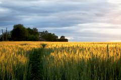 Comme les blés (Atreides59) Tags: nord ciel sky nuages clouds couleurs colors bleu blue jaune yellow rouge red pentax k30 k 30 pentaxart atreides atreides59 cedriclafrance