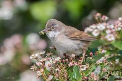 Whitethroat (Linda Martin Photography) Tags: sylviacommunis dorset wildlife longhamlakes bird birds nature uk whitethroat coth specanimal ngc coth5 npc sunrays5
