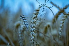 Korn (Nic2209) Tags: nikond750 nic2209 flickr 2017 allemange alemania europa deutschland germany ruhrgebiet ruhrpott westfalen ninis kornfeld korn weizen felder schönertag makro en sigma105mm nikon sigma d750