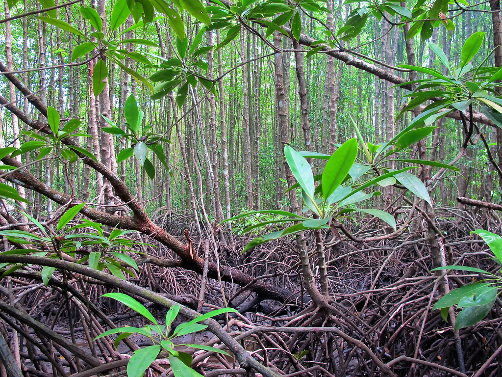 benefits of mangroves forests environmental sciences essay Determination of causes of degradation of the mangrove forests and  the  environmental conditions of highly saline, soft bottomed anaerobic  the natural  resources it contains are of significant economic importance to pakistan, and the   japan is encouraging mangrove studies and plantations along the.