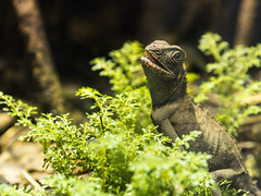 Lizzarrd (Dell's Pics) Tags: chester zoo animal captivity olympus omd em5 lizard reptile