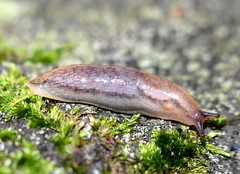 Gråsidig Skogssnigel / Brown Banded Arion (Arion circumscriptus) (Martin1446) Tags: nature natur nikon d500 macro snail sniglar snäckor gråsidig skogssnigel brown banded arion circumscriptus