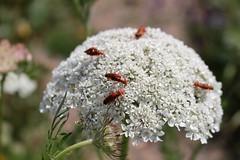 Bonking Beetles Bokeh (Julie (thanks for 8 million views)) Tags: bokeh soldierbeetle insect mating hhd hihd wildcarrot wildflower ourladysislandlake fauna flora wexford ireland irish canoneos100d macro wing hww hbw