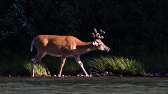 White-tailed Deer (stephaniepluscht) Tags: montana 2017 glacier national park ungulates ungulate hoofed fishercap lake whitetailed deer white tail tailed