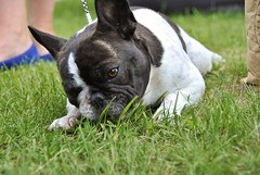 19243411_1346222405433543_4767033055615361300_o (Anastasia Neto) Tags: frenchbulldog frenchies frenchie funnydog frenchbulldogs funnydogs petmodel puppies petphotography petphotographer dog dogphotography dogmodel dogs dogphotographer cutepuppies cutepuppy dogshow