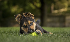 Ammo..... (Kevin Povenz Thanks for the 3,300,000 views) Tags: 2017 july kevinpovenz dog puppy germanshepard husky canon7dmarkii sigma24105art grass tennisball brown orange cute ammo lawn