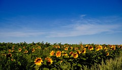 _DSC6125 (barrypphotos) Tags: rural sunflower crop southern alberta field yellow blue sky nikon d 500