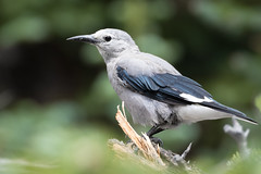 Clark's Nutcracker (Phil Stollsteimer) Tags: bird birding nutcracker gray white blue black