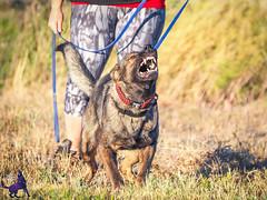 P7151607 (Songdog Studios) Tags: green dog neumond womensretreat 2017 k9 schutzhund ipo