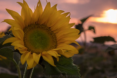Sunflower Night (Tim Allendörfer) Tags: sunflower sunset evening night clouds sun flower leaf yellow green outdoor field growth summer photography nature closeup