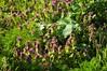 Purpurrote Taubnessel (Lamium purpureum); Schwabstedt, Nordfriesland (4) (Chironius) Tags: schwabstedt nordfriesland schleswigholstein deutschland germany allemagne alemania germania германия niemcy blüte blossom flower fleur flor fiore blüten цветок цветение rosa asterids lamiids lamiales lippenblütlerartige lamiaceae lippenblütler lamioideae taubnessel lamium