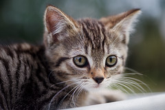 'Bungie' (Jonathan Casey) Tags: kitten tabby rescue catchums cat chums norfolk d810 105mm f28 vr