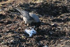 Nebelkrähe beim Frühstück (julia_HalleFotoFan) Tags: rügen ostsee nebelkrähe aaskrähe corvuscorone rabenvogel