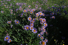 Asters (kyleddsn) Tags: windriverrangewyoming summer hiking backpacking deeplake