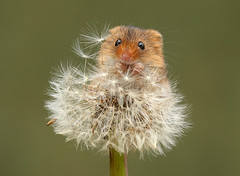 Harvest Mouse (oddie25) Tags: canon 1dx 100400mmmk11 mouse harvestmouse captive mice dandelion nature naturephotography w wildlifephotography