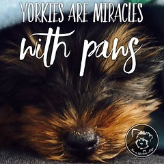 So glad I've got a miracle, how about you? (itsayorkielife) Tags: itsayorkielife yorkie yorkielove yorkiememe yorkshireterrier