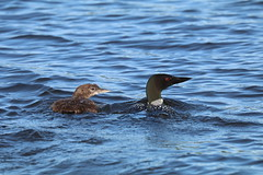 Commonl loon and her chick (gangecon) Tags: loon mother baby outdoor outdoors canon80d canon70300mm swim water loons nature wildlife sunnyday beach sunshinw