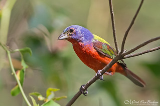 Male Painted Bunting (Explored)