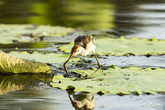 Jacana with Reflection 200B4243 WEB (Firefly Photos Australia) Tags: kakadu northernterritory australia australianwildlife fireflyphotos fireflyphotosaustralia nature jacana jesusbird birds australianbird