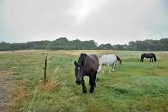 Chevaux sous la pluie (Mystycat =^..^=) Tags: chevaux horse cheval animal îledaix france poitoucharentes charentemaritime île island sunrays5 coth5 naturethroughthelens