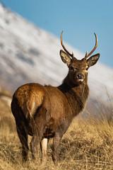 Young Red Deer Stag (jasty78) Tags: reddeer red deer deerstag stag glenetive scotland highlands nikon d5200 tamron150600mm 400mm distinguisheddeer