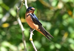 Barn Swallow (careth@2012) Tags: