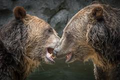 Bear Greeting (helenehoffman) Tags: omnivore brownbear ursusarctoshorribilis wildlife grizzlybear nature pool ursus sandiegozoo conservationstatusleastconcern ursusarctos carnivore mammal animal