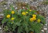 Tanacetum bipinnatum (Todd Boland) Tags: flowers tanacetum asteraceae
