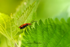 DSC_0511 (Franck.H Photography) Tags: macro insectes araignée coccinelle