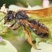 Parallel Furrow Bee - Halictus parallelus, Meadowood Farm SRMA, Mason Neck, Virginia