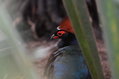 Intense red (dfromonteil) Tags: bird oiseau animal nature red black green vert rouge noir couleurs colors bokeh eye oeil look regard portrait