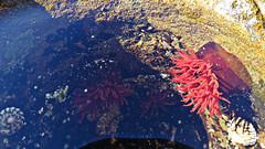 Actinia tenebrosa_1 (Tony Markham) Tags: actiniatenebrosa waratahanemone seaanemone anemone rockpool puckeysbeach puckeysestate northbeach northwollongong illawarra wollongong nsw