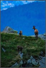 Maman! cet humain il fait rien qu'à nous embêter! (jamesreed68) Tags: animaux faune chamois hohneck montagne martinswand 68 france alsace hautrhin grandest vosges canon eos 600d